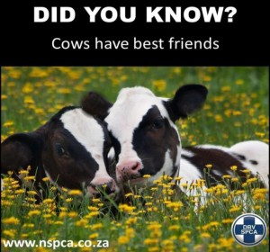 Did-you-know-cows-have-best-friends-300x280