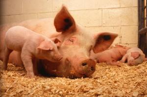 Domestic_pigs-300x198