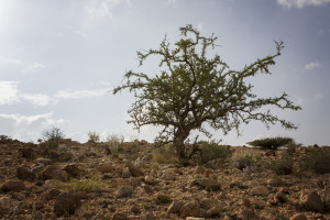 A myrrh tree growing in the wild.