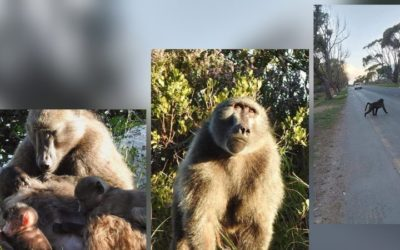 Faith communities' NGO calls for CoCT to involve civil society in matters regarding the Cape's baboons